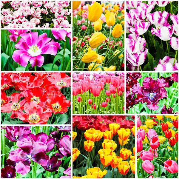 весенние цветы тюльпаны цветок лет зеленый Tulip Сток-фото © EwaStudio