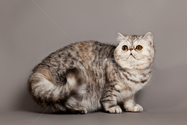 Exotisch korthaar kat perzische kat grijs ogen Stockfoto © EwaStudio