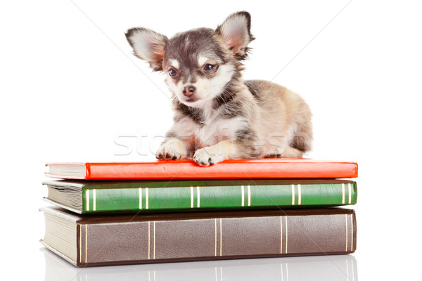 Stock photo: dog on books.   Chihuahua puppy