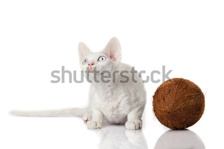 Devon Rex cat on white background  Stock photo © EwaStudio