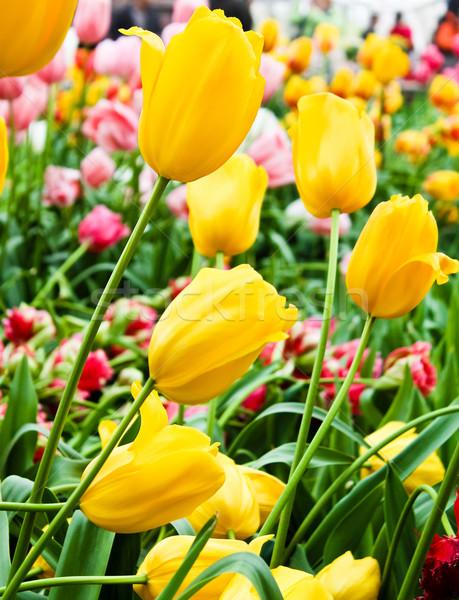 Güzel bahar çiçekleri lale çim yaprak yaz Stok fotoğraf © EwaStudio