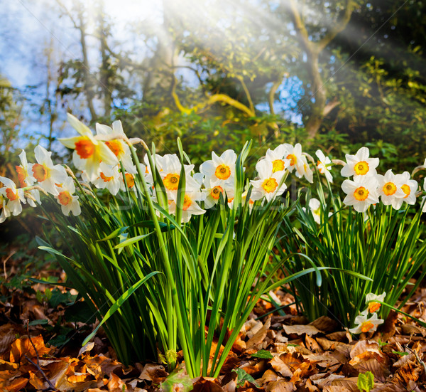 Close up of narcissus flowers in a garden. Yellow narcissus flow Stock photo © EwaStudio