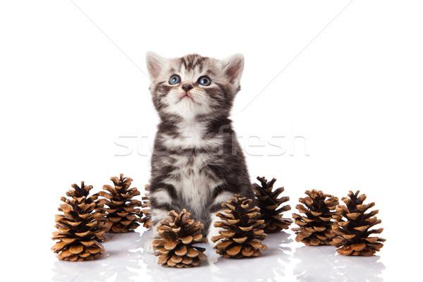 Brit kiscica fenyőfa fehér háttér tél Stock fotó © EwaStudio