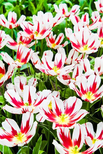 Colorido tulipas belo flores da primavera primavera paisagem Foto stock © EwaStudio