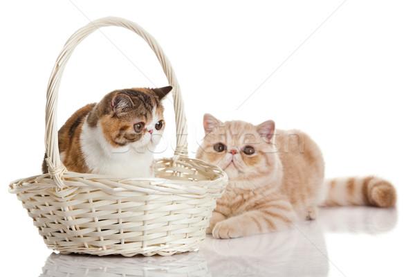 ストックフォト: エキゾチック · ショートヘア · 猫 · 2 · 猫 · 座って