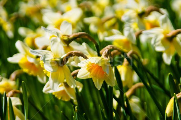 Bloemen Pasen bloem gras blad zomer Stockfoto © EwaStudio