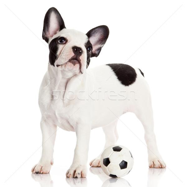 French bulldog puppy with toy  ball over white Stock photo © EwaStudio