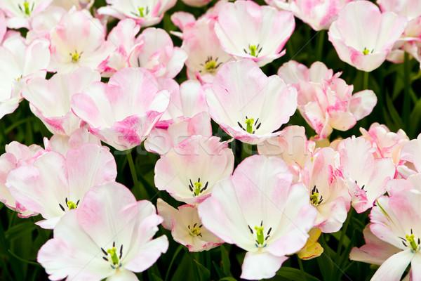 colorful tulips.  Beautiful spring flowers. Spring landscape Stock photo © EwaStudio