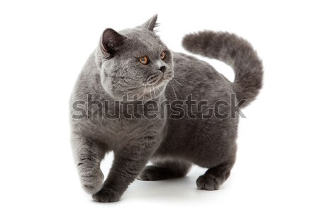British shorthair cat on a white background.  british cat isolat Stock photo © EwaStudio