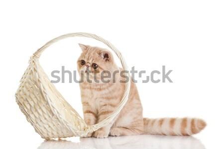 Stockfoto: Exotisch · korthaar · kat · aanbiddelijk · kitten · mand