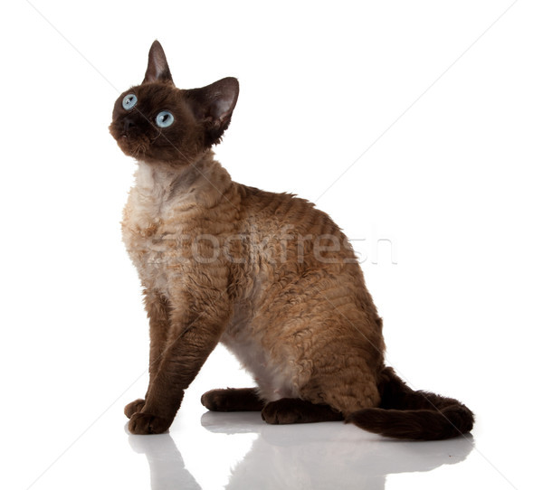 Devon Rex. Portrait on a white background Stock photo © EwaStudio