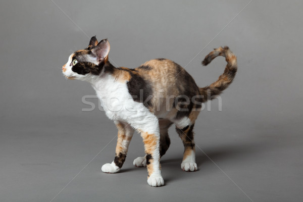 Devon Rex cat on gray background  Stock photo © EwaStudio