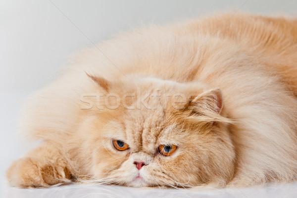 Perzische kat geïsoleerd witte portret kat oranje Stockfoto © EwaStudio