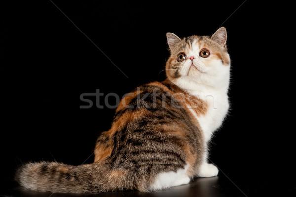 Egzotikus rövidszőrű macska házimacska fekete természet Stock fotó © EwaStudio