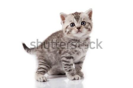 kitten on a white background Stock photo © EwaStudio