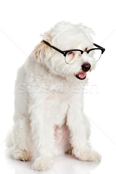 犬 眼鏡 孤立した 白 学校 学生 ストックフォト © EwaStudio