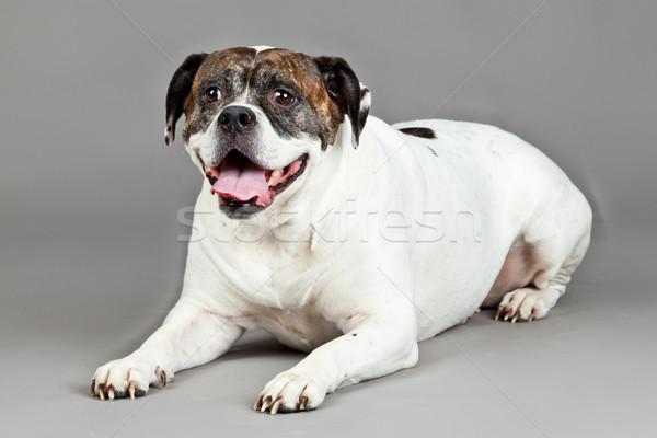 Американский бульдог портрет серый собака фон молодые Сток-фото © EwaStudio