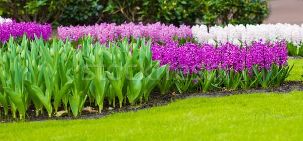 ヒヤシンス 花 春の花 春 太陽 庭園 ストックフォト © EwaStudio
