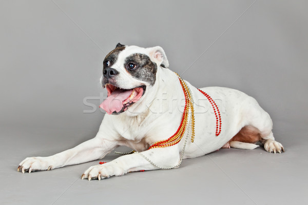 Retrato cinza cão fundo jovem Foto stock © EwaStudio