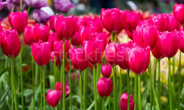 カラフル チューリップ 美しい 春の花 春 風景 ストックフォト © EwaStudio