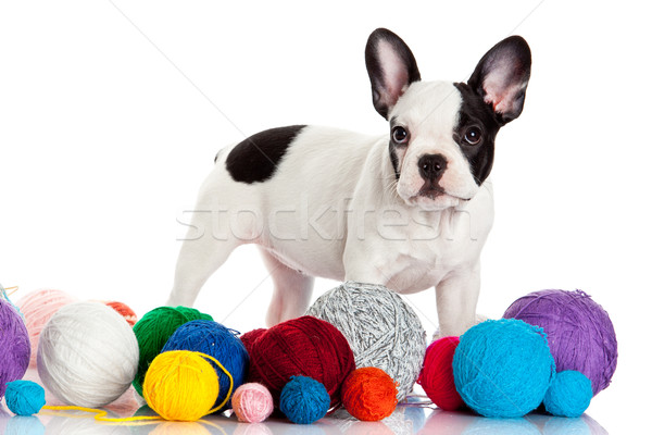 Frans bulldog puppy wol geïsoleerd Stockfoto © EwaStudio