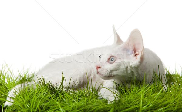 猫 草 白 庭園 フィールド リラックス ストックフォト © EwaStudio