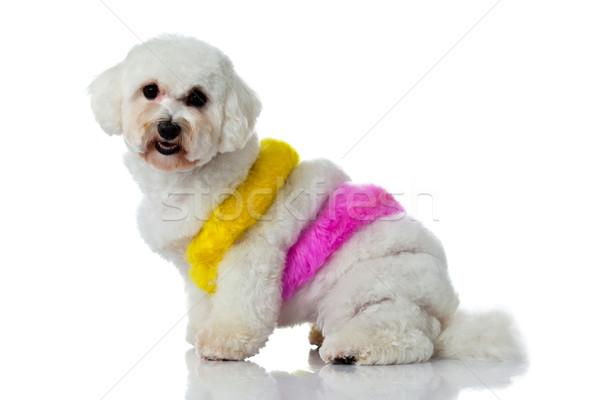 Imádnivaló kutya fehér haj festék festő Stock fotó © EwaStudio