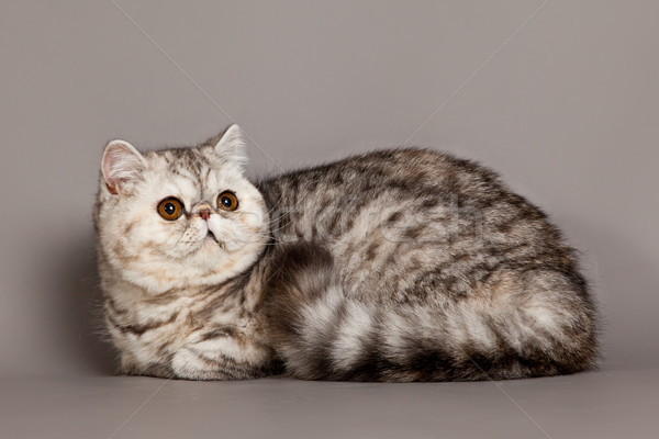 Exotic shorthair cat.  persian cat on grey background  Stock photo © EwaStudio