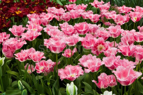Foto stock: Belo · flores · da · primavera · tulipas · grama · folha · verão