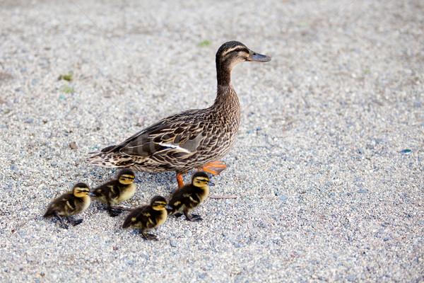 Család madár anya fiatal törődés úszás Stock fotó © EwaStudio