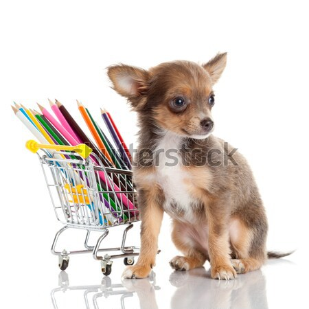 Stock photo: Chihuahua puppy