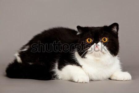 エキゾチック ショートヘア 猫 ペルシャ猫 グレー 目 ストックフォト © EwaStudio