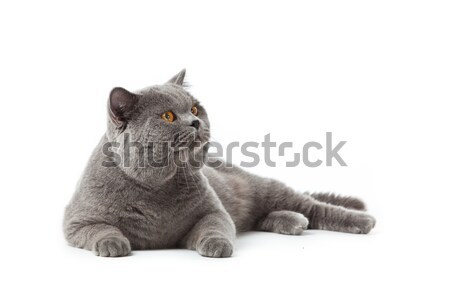 British shorthair cat on a white background.  british cat isolated Stock photo © EwaStudio