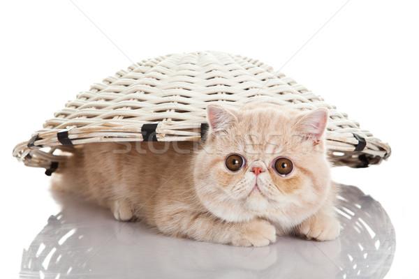 Egzotikus rövidszőrű macska vicces játékos természet Stock fotó © EwaStudio