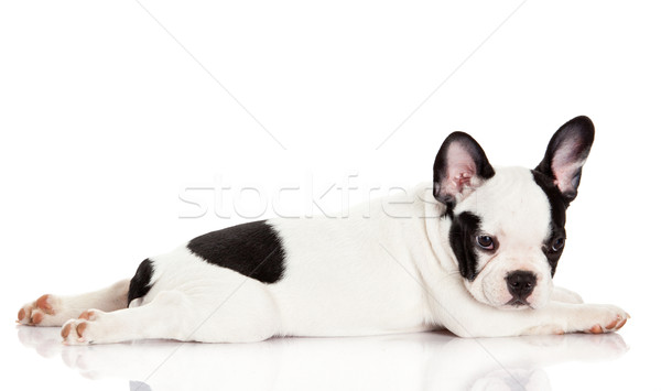 French bulldog puppy.  Stock photo © EwaStudio