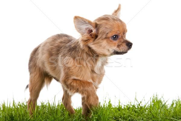 Hónapok öreg kutya izolált fehér szem Stock fotó © EwaStudio