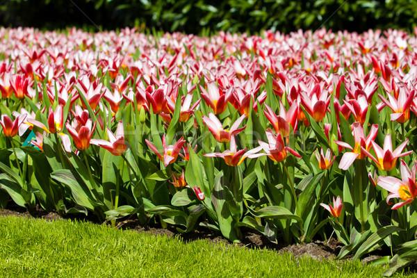 Kleurrijk tulpen mooie lentebloemen bloemen Pasen Stockfoto © EwaStudio