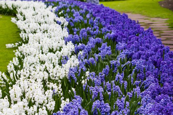hyacinth flowers.  Spring flowers Stock photo © EwaStudio