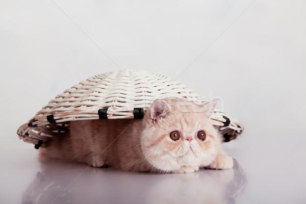 экзотический короткошерстная кошки смешные природы Сток-фото © EwaStudio