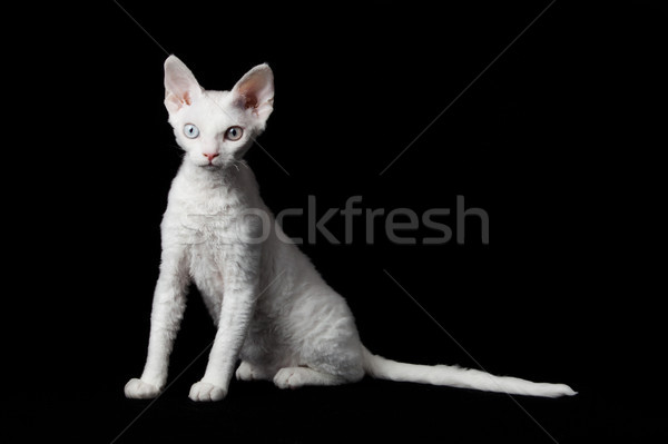Devon Rex on black background  Stock photo © EwaStudio