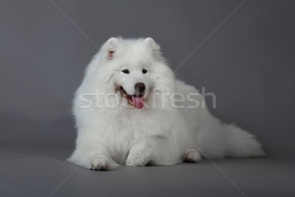 Hond schoonheid dieren witte dier mooie Stockfoto © EwaStudio