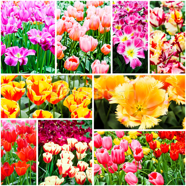 spring flowers. Tulips Stock photo © EwaStudio