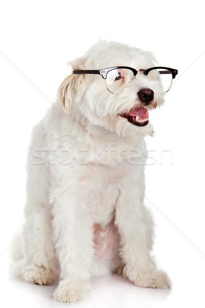 Köpek gözlük yalıtılmış beyaz okul öğrenci Stok fotoğraf © EwaStudio
