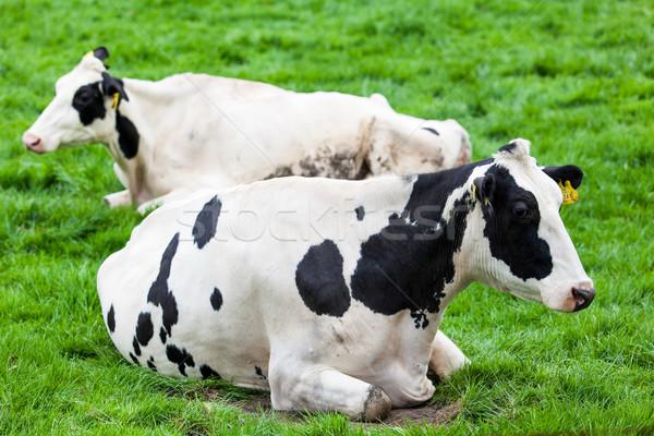 Campo comida grama paisagem vaca Foto stock © EwaStudio