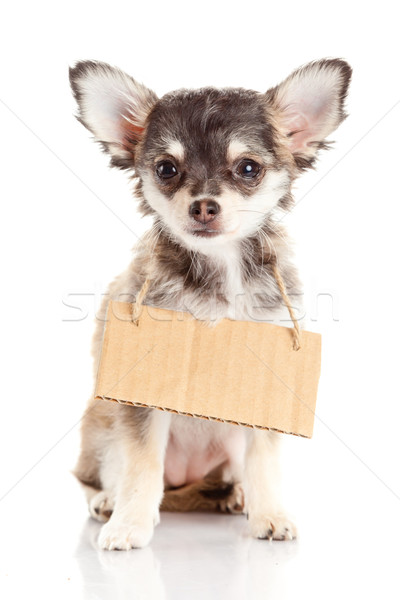 Chihuahua puppie  with empty cardboard.  Dog holding a homeless Stock photo © EwaStudio