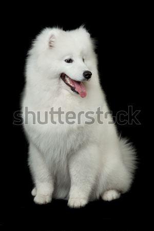 Samoyed dog  on black background. Stock photo © EwaStudio