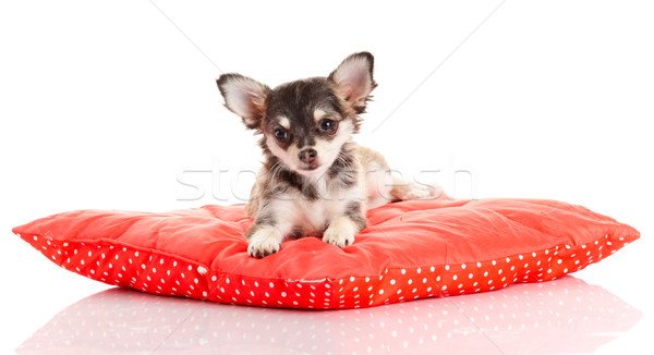 Chihuahua dog on red  pillow isolated on white background. portr Stock photo © EwaStudio
