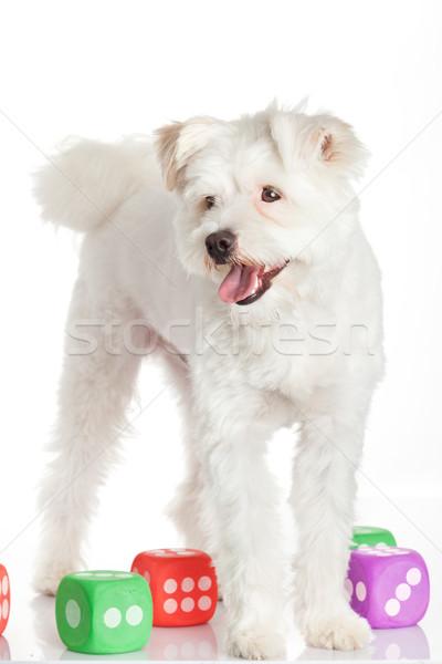 美しい 白 犬 楽しい おもちゃ サイコロ ストックフォト © EwaStudio