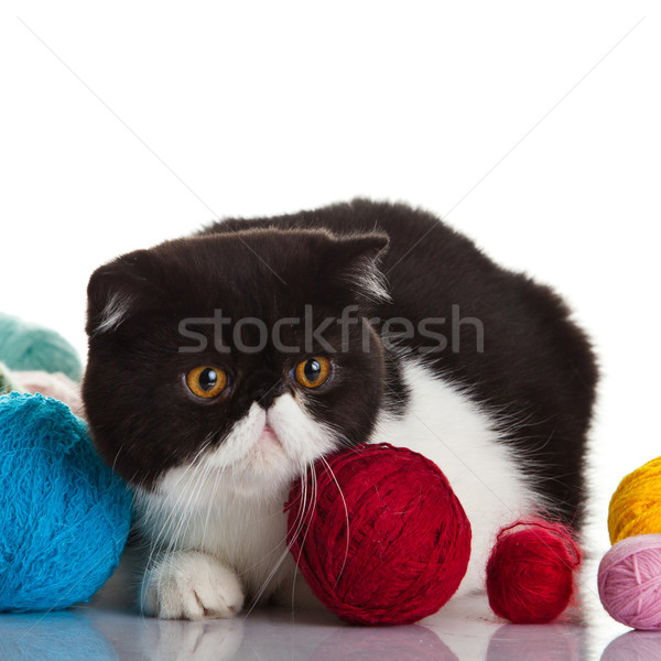 Egzotikus rövidszőrű macska golyók fiatal stúdió Stock fotó © EwaStudio