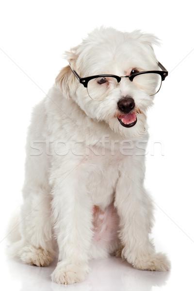 Portre köpek gözlük komik beyaz eğitim Stok fotoğraf © EwaStudio